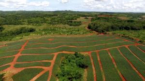 Panama pineapples farm investment